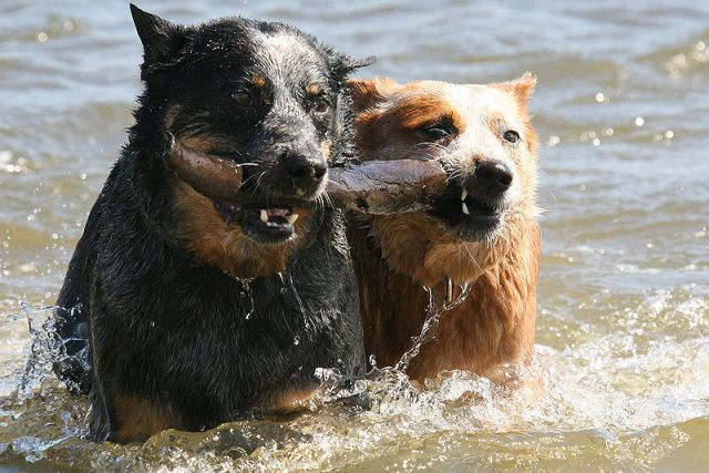 800px-Cattle_dogs_swimming.jpg