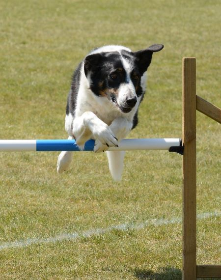 jumping-dog-Image-by-SnottyBoggins-from-Pixabay-450_20839