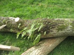 Polypody fern on fallen tree