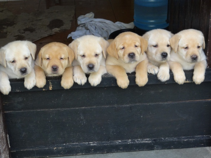 cute-puppy-labs
