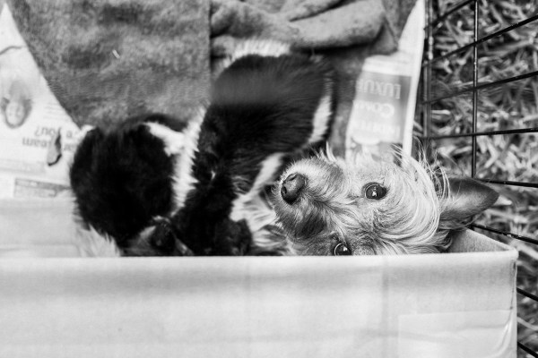 Abandoned-Mama-Yorkshire-Terrier-looking-after-two-kittens-like-her-own-kids.1