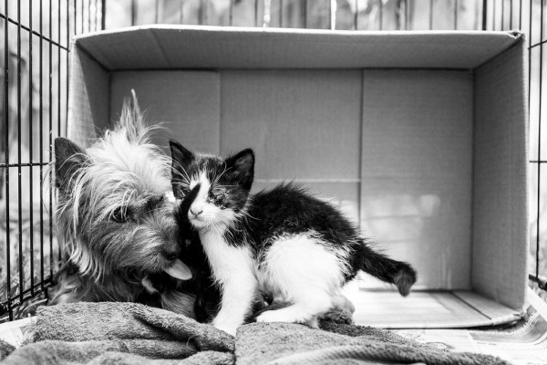 Abandoned-Mama-Yorkshire-Terrier-looking-after-two-kittens-like-her-own-kids.4