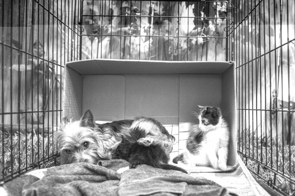 Abandoned-Mama-Yorkshire-Terrier-looking-after-two-kittens-like-her-own-kids.5