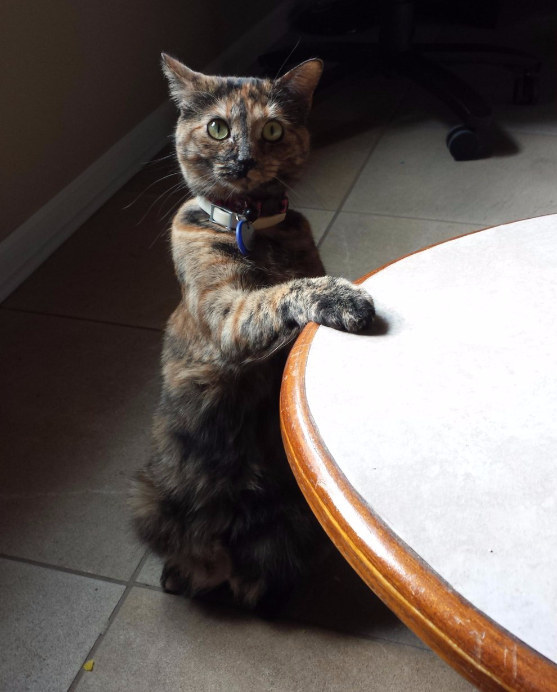 cats-wish-to-be-humans-perfect-table-manners