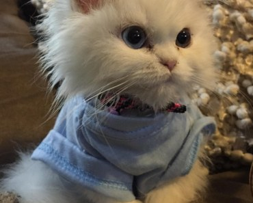cats-wish-to-be-humans-super-model
