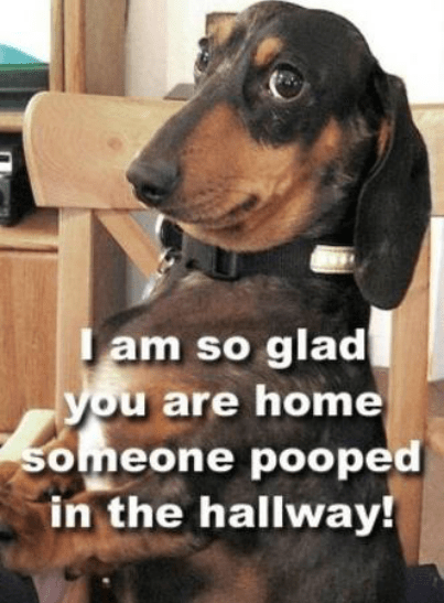 dachshund-pranks-antics.2