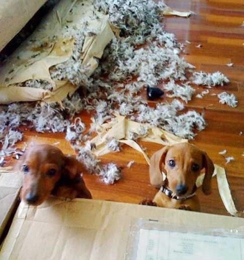 naughty dachshunds j
