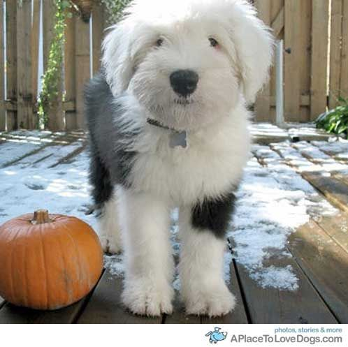 english sheep dog 1