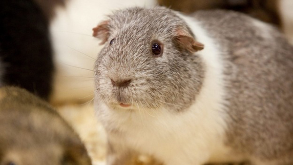 randy guinea pig set to become father to 400 after sneaking into female enclosure.1