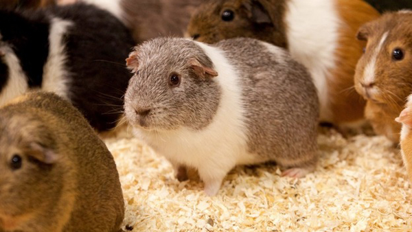 randy guinea pig set to become father to 400 after sneaking into female enclosure.2