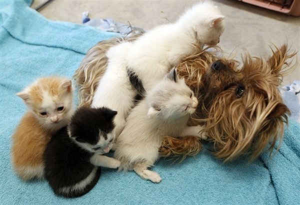 yorkie and cats 1