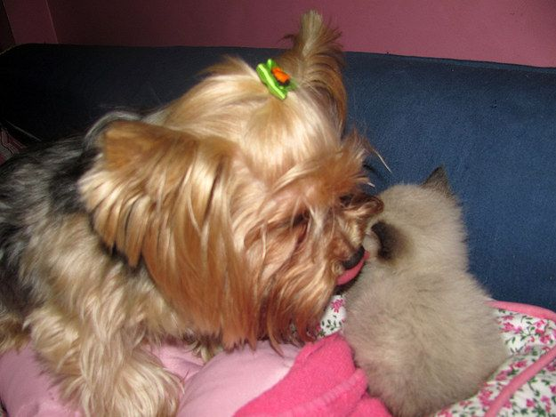 yorkie and cats 3