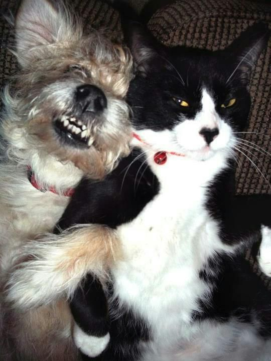 yorkie and cats 4