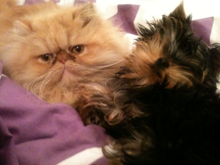 yorkie and cats 9