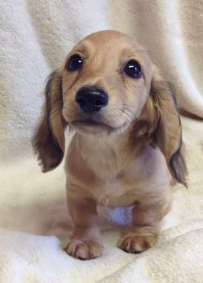 cute dachshund puppy