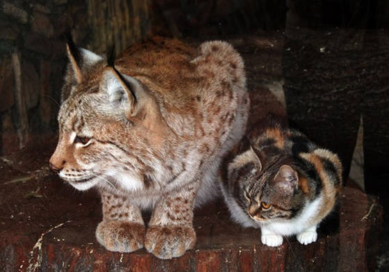 cat and lynx 4