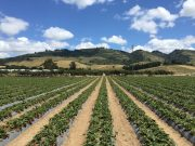 Gizdich farm, Watsonville.