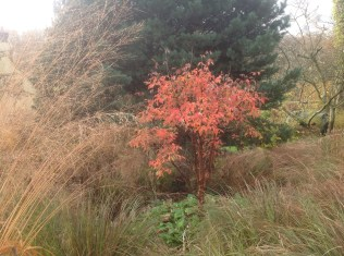 Molinia caerulea subsp. arundinacea autumn