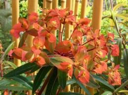 Euphorbia griffithii 'Firelgow'