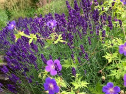 Lavender Munstead and geranium