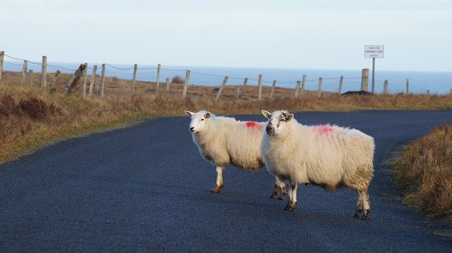 Sheep on a road in west Cork