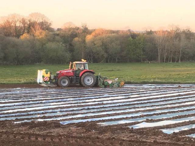 Tractor sowing maize under plastic