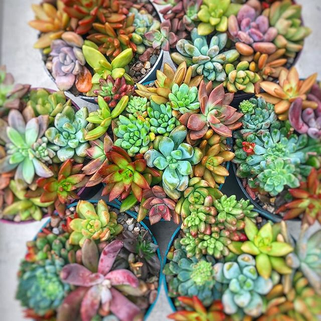 urban bloom succulents