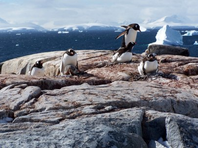 penguins-with-chicks-2