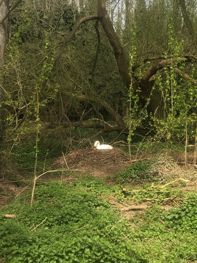 Nesting swan April 2020
