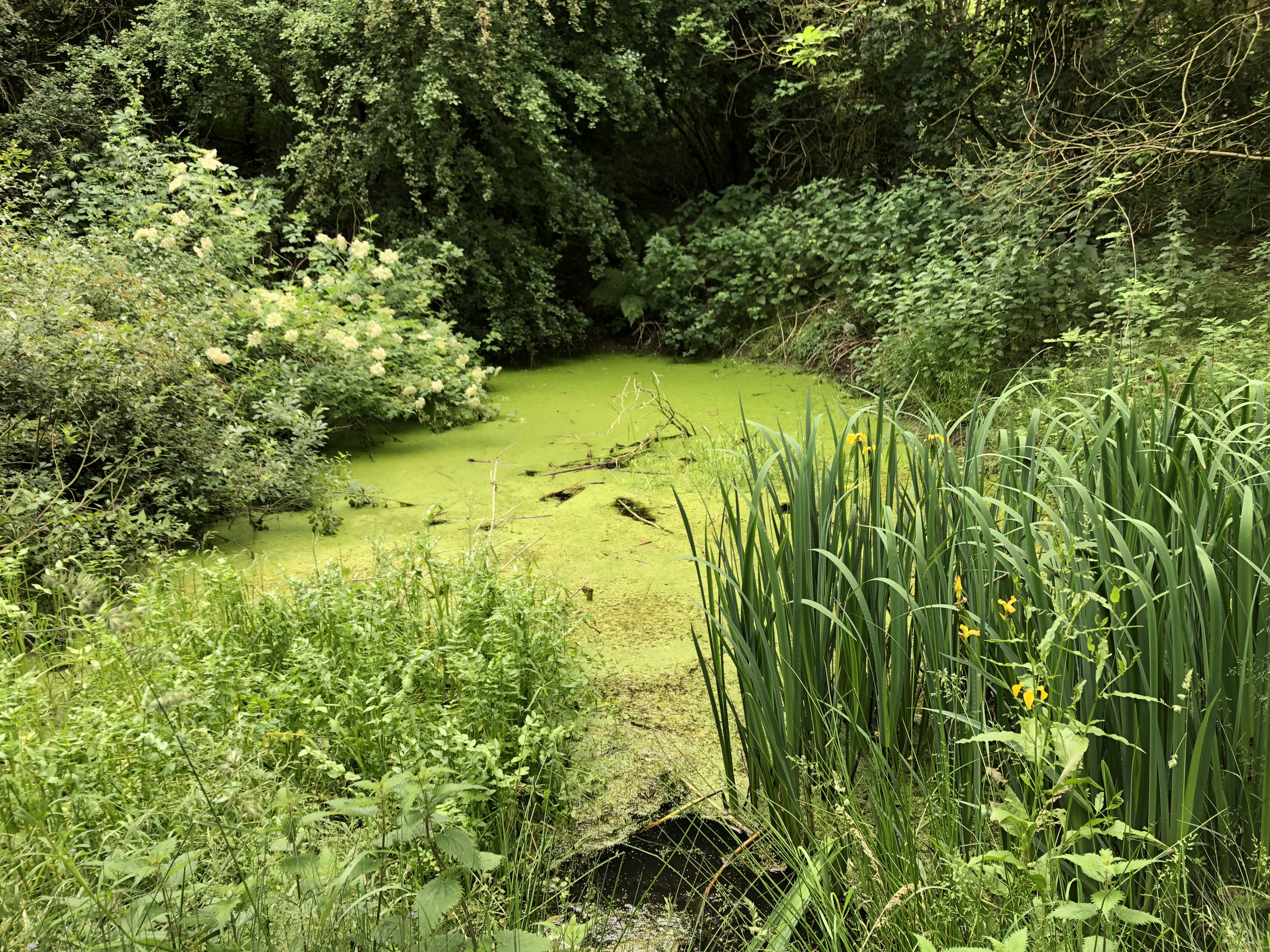 Pond in Dawsons Wood