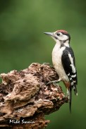 Juvenile Woodpecker - Mike Swain