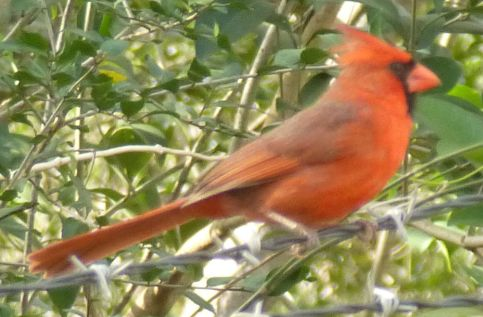 cardinal_on_wire_2