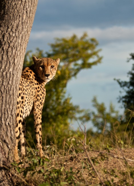 A Cheetah stares straight at the camera having just scent marked a tree in Thornybush Game Reserve, South Africa