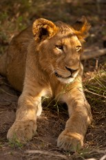 Lion Cub in Golden Light, late afternoon in Thornybush Game Reserve, South Africa
