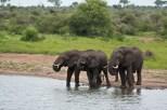 Three Elephants Drinking