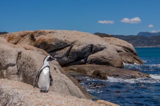 A Penguin at Boulders Beach Cape Town