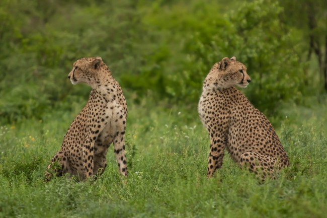 Cheetah on the lookout