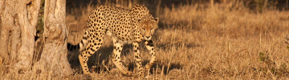 Locking Eyes With A Cheetah