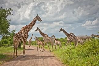 Herd of Giraffes in Hluluwe
