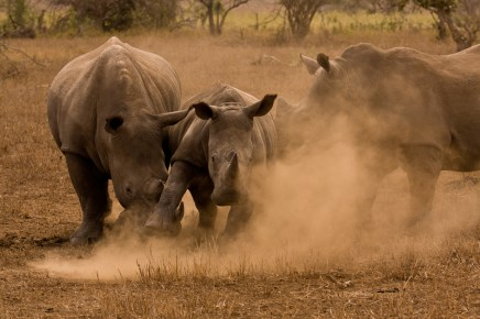 Rhinos Fight and Kick up Dust