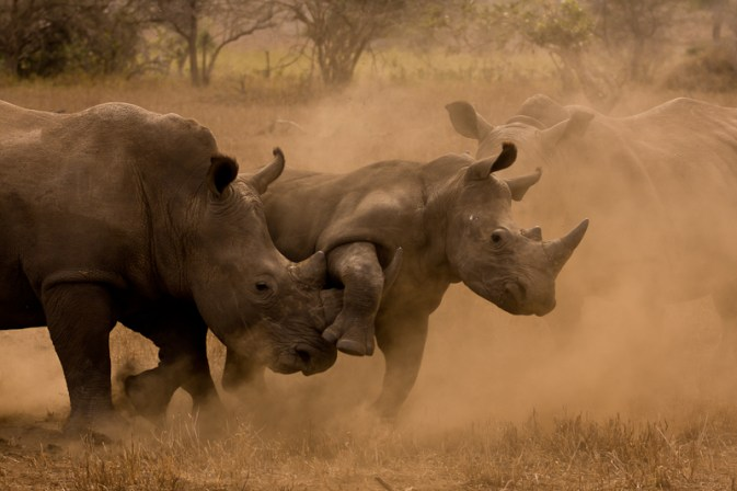 Rhinos Fighting