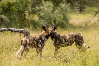 Two African Wild Dog