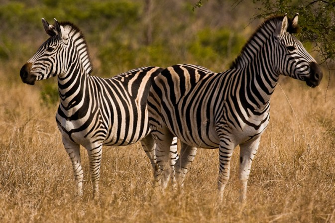 Two Zebra on the Lookout