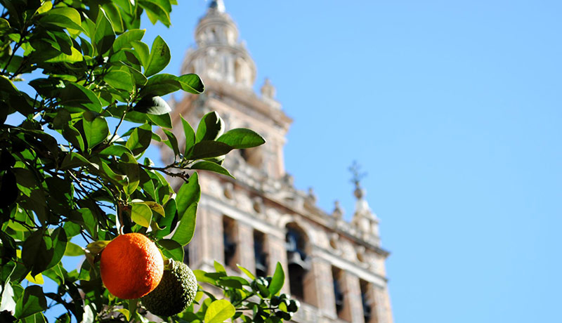 sevillian orange trees