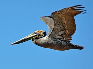 Pelican Fly By DSC_5581