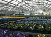 Greenhouse full of pansies
