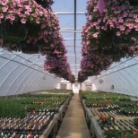 calibrachoa cabaret pink baskets