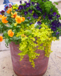 lysimachia with pansies, parsley and violas