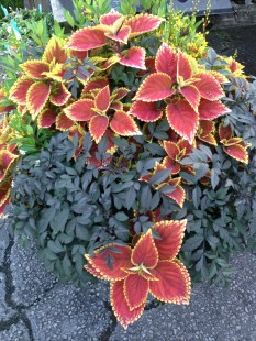 coleus trusty rusty with dark dahlia mystic foliage