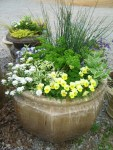 juncos with parsley, white candytuft, pale yellow violas and variegated vinca vine